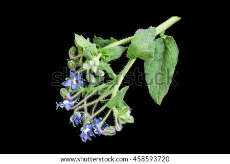 Medicinal plant borage (Borago officinalis), also known as a starflower isolated on a black background. Used in herbal medicine, healthy eating, oil from the seeds is done for cosmetic purposes - stock photo