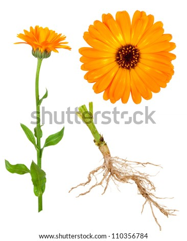 Medicinal plant. Calendula - stock photo