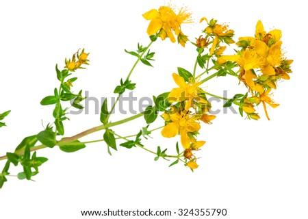 Medicinal plant: Hypericum perforatum. St. John's wort - stock photo