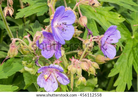 Medicinal plant Meadow geranium (Geranium pratense) close up in their natural habitat. Selective focus - stock photo