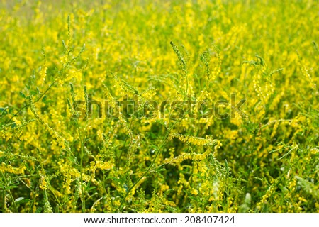 Medicinal plant: Melilotus officinalis (Yellow Sweet Clower) - stock photo