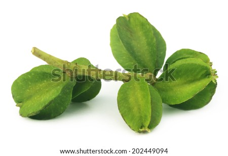 Medicinal Terminalia arjuna over white background - stock photo