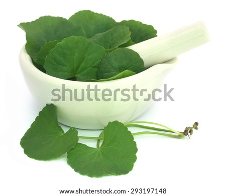 Medicinal thankuni leaves of Indian subcontinent with mortar and pestle - stock photo