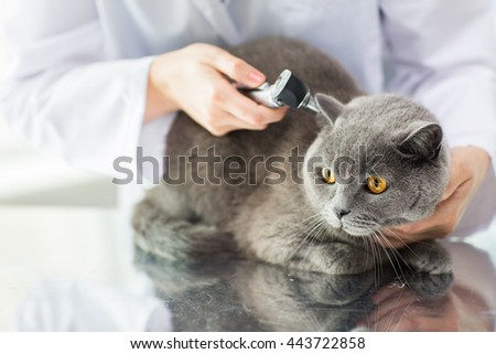 medicine, pet, animals, health care and people concept - close up of veterinarian doctor with otoscope checking up british cat ear at vet clinic - stock photo