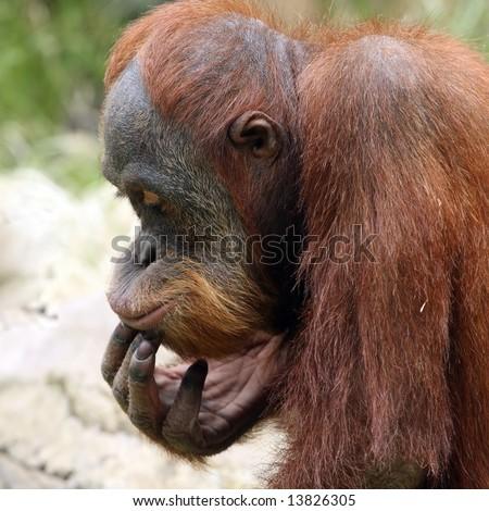 Meditating orangutan in ZOO Prague - Czech Republic Europe - stock photo
