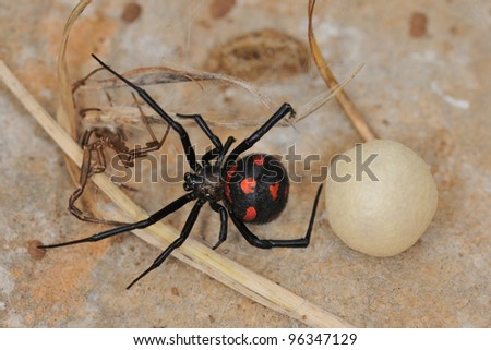 White Widow Spider Eggs