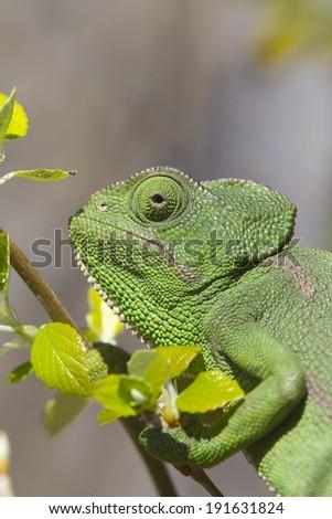 Mediterranean Chameleon (Chamaeleo chamaeleon) close-up of the head, Andalusia, Spain - stock photo