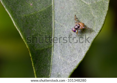 Mediterranean fruit fly - stock photo