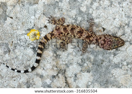 Mediterranean house gecko (Hemidactylus turcicus) dorsal pattern - stock photo