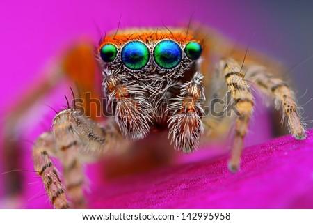 Mediterranean jumping spider (Saitis barbipes) - stock photo