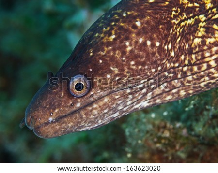 Mediterranean moray, Mittelmeer Mur�¤ne (Muraena helena) - stock photo