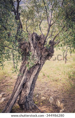 Mediterranean olive field with old olive tree ready for harvest. - stock photo