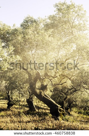 Mediterranean olive trees with sunlight.