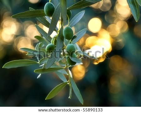 Mediterranean Organic Olives On Its Tree Branch  - stock photo