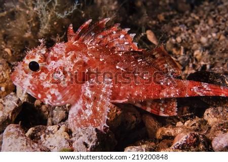 Mediterranean Sea, U.W. photo, small scorpionfish (Scorpaena scrofa) - FILM SCAN - stock photo