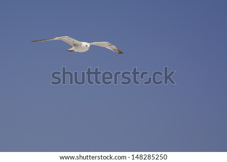 Mediterranean seagull soaring against blue sky Laridae, Cape Formentor. - stock photo