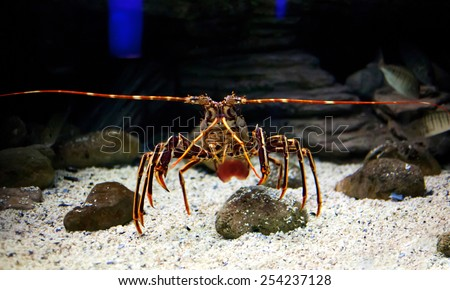 Mediterranean spiny lobster  (Panulirus argus) underwater - stock photo