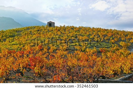 Mediterranean vineyard with a hut on a hill, Banyuls sur Mer, Pyrenees Orientales, Languedoc Roussillon, France