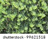 Mediterranian plants growing on a wall. Picture made in Sissi, Crete, Greece. - stock photo