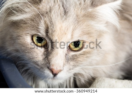 Medium-Haired, Light-Colored, Mixed Breed Cat.  Close-Up of Face. - stock photo