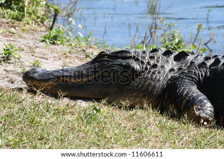 Medium view of the face and shoulders of a crocodile sunning himself on the shore of a Florida pond
