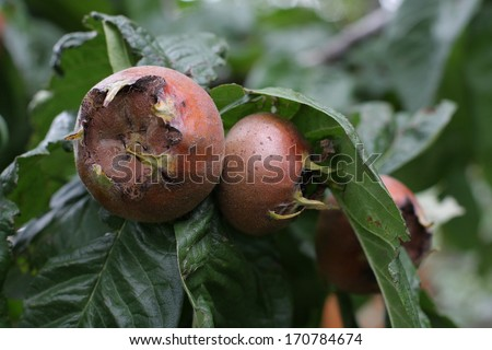 medlar - stock photo