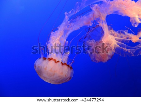 Medusa jellyfish floating and swimming in the blue ocean - stock photo