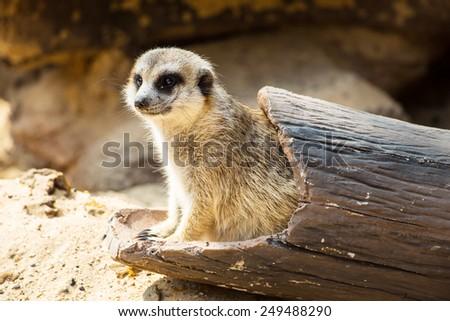 Meercat in the zoo - stock photo