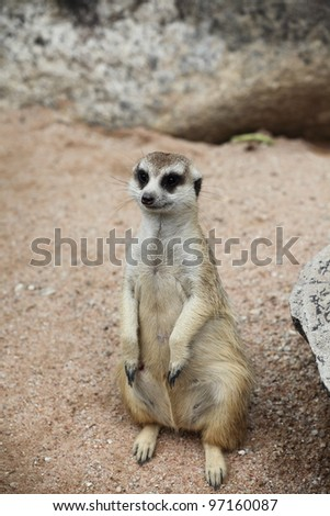 Meercat in the zoo