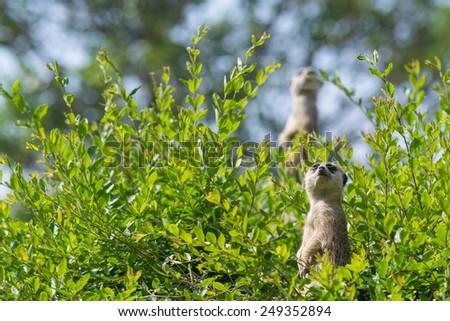 Meerkat - stock photo
