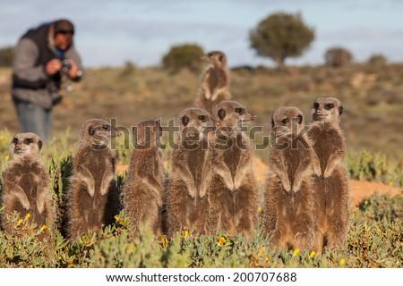 Meerkat Adventures - stock photo