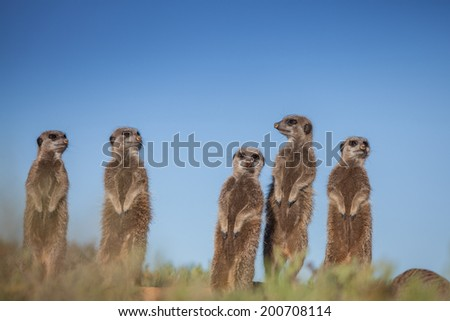 Meerkat Adventures - stock photo