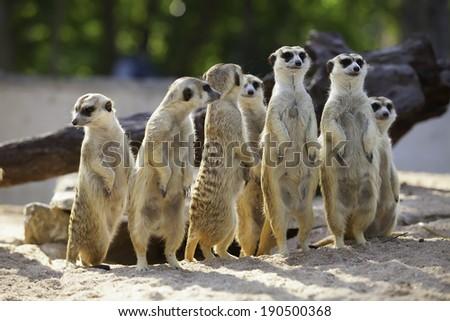 Meerkat Family are sunbathing. - stock photo