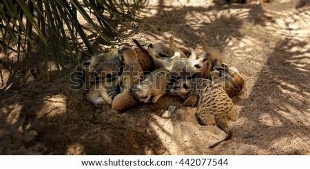 Meerkat family sleeping in shadow - stock photo