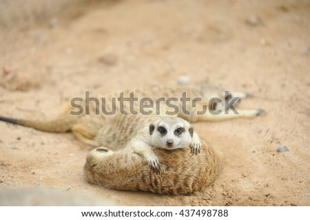 meerkat  / Focus selection - stock photo