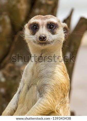 meerkat in with blur background. Open safari in Thailand - stock photo