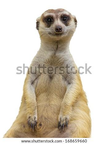 meerkat isolated - stock photo