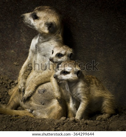 Meerkat kittens - stock photo
