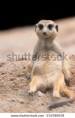 Meerkat lying in the sun - stock photo