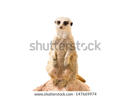 meerkat on white background  - stock photo