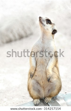 Meerkat or suricate in the zoo, at Thailand. - stock photo