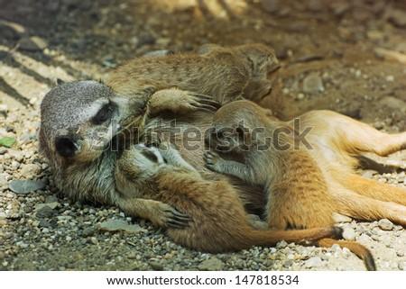 Meerkat or Suricate (Suricata suricatta) - mother and her babies. - stock photo