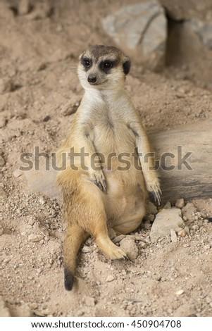 Meerkat resting in open zoo of Thailand (selective Focus) - stock photo