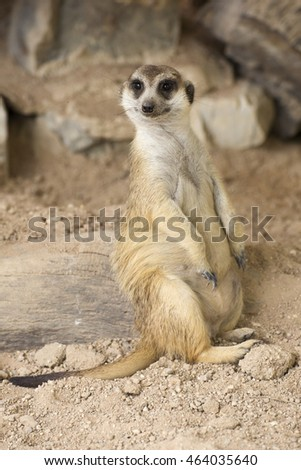 Meerkat resting in open zoo of Thailand (selective Focus)