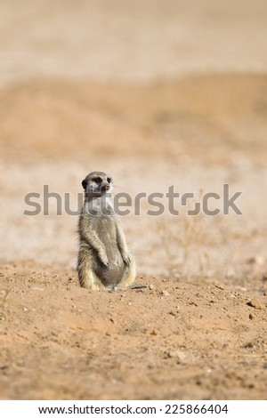 Meerkat sat upright against a blurred natural background, Kalahari Desert, South Africa - stock photo