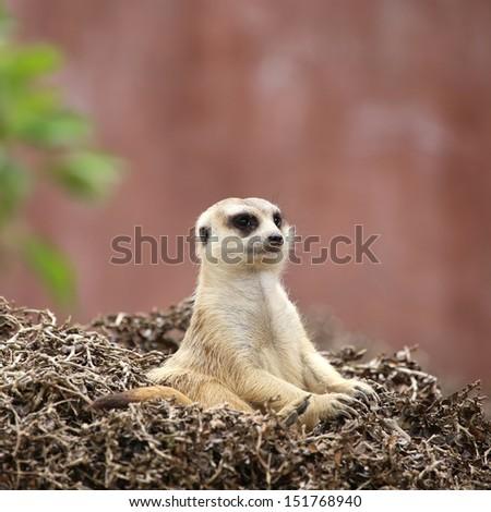 Meerkat sit  - stock photo