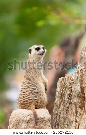 Meerkat standing staring at the rock on a green background. - stock photo