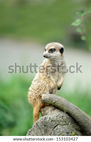 Meerkat standing upright and looking alert