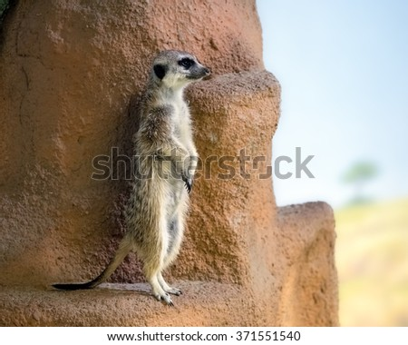 Meerkat stands on its hind legs on a rock and looks around - stock photo