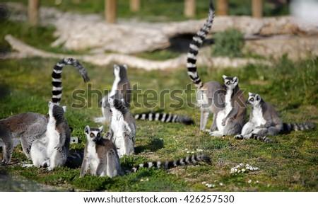 Meerkat, Suricata suricate, animal, rodent, cute, nature, wildlife, zoo, mammals, Herpestesida to, mongoose, outdoor, - stock photo